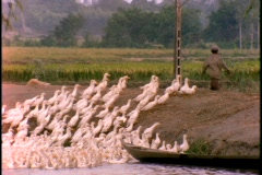 A Vietnamese farmer leads a flock of ducks out of the water. Stock Footage