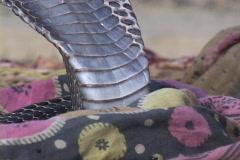 A cobra snake listens to a snake charmer. Stock Footage
