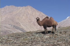 A Bactrian camel stands in the Himalayas. Stock Footage