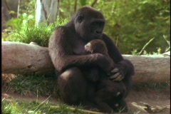 A mountain gorilla holds her baby. - stock footage