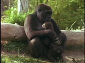 Stock Video Footage of A mountain gorilla holds her baby.