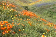 Orange, yellow and purple wildflowers grow on hillsides. Stock Footage
