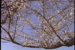 Cherry trees bloom at an Atlanta park. Stock Footage