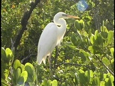 Stock Video Footage of A white egret perches in the top of trees in the Florida Everglades.