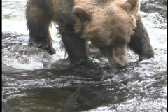 A bear snatches a salmon out of the water. Stock Footage