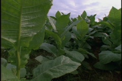 Cuban tobacco farm workers work in a field. Stock Footage