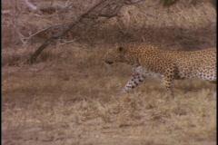 A cheetah stalks through the grass. Stock Footage