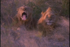 Lions sitting in the high grass on plains of Africa. Stock Footage