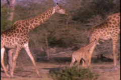A herd of giraffe walk through sparse trees. Stock Footage