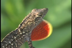 A lizard's red and green throat sac expands as it breathes. Stock Footage