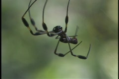 A large black spider chases a smaller spider. Stock Footage