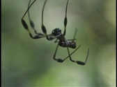 Stock Video Footage of A large black spider chases a smaller spider.