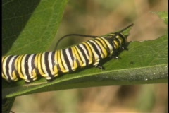 A monarch caterpillar crawls up a leaf. Stock Footage