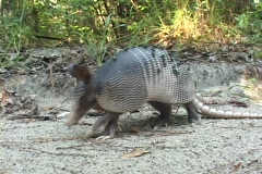 An armadillo walks across sandy ground. - stock footage
