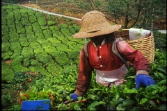 A woman harvests tea leaves in Malaysia. Stock Footage