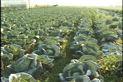An Amish rides on a horse drawn platform across a cabbage farm. Stock Footage