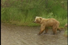 A baby bear follows its mother into a river. Stock Footage