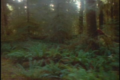 Fog drifts through a redwood forest in California. Stock Footage