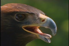 The face of a hawk watches intently. Stock Footage