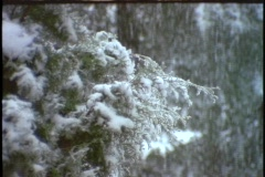 Heavy snow falls in an evergreen forest. Stock Footage