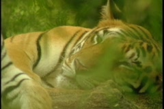 Indian tigers rest in the jungle. Stock Footage