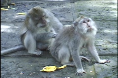 A gray monkey grooms another monkey's back. Stock Footage