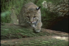 A bobcat carefully stalks its prey. Stock Footage
