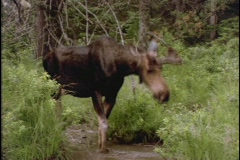 A moose drinks from a forest pond. - stock footage