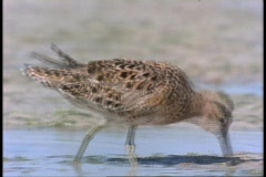 A Plover forages in a sandy puddle in Florida. Stock Footage