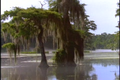 Trees adorn a swamp in Florida's Everglades. - stock footage