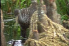 A limpkin bird walks through Florida's Everglades. Stock Footage
