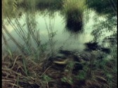 An alligator emerges from a swamp in Florida's Everglades. Stock Footage