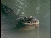 Stock Video Footage of An alligator smacks its head against the water in Florida's Everglades.