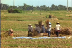 Farmers thresh in a rice paddy in Bali, Indonesia. Stock Footage