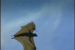 A bat flies over the Indonesian jungle. Stock Footage