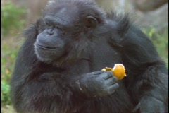 A chimpanzee makes faces as it eats an orange peel. Stock Footage
