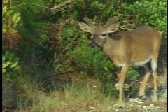 A buck, in velvet, walks through a forest in Florida's Everglades National Park. Stock Footage