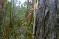 A Lubber grasshopper crawls up a tree in Florida's Everglades. Stock Footage