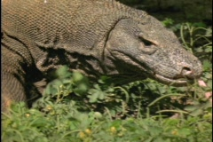 A Komodo dragon walks and sticks its tongue out. Stock Footage