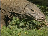 Stock Video Footage of A Komodo dragon walks and sticks its tongue out.
