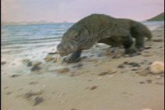 A Komodo dragon investigates a beach. Stock Footage