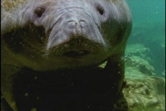 A manatee swims along the ocean floor in Florida. Stock Footage