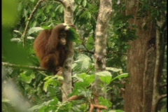 An orangutan sits in a jungle tree and covers its head with leaves. Stock Footage