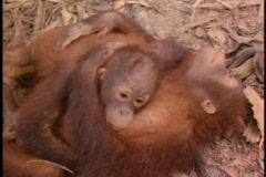 An orangutan and its baby cuddle on the forest floor in Sabah, Borneo. Stock Footage