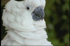 A sulfur crested cockatoo fluffs his head feathers. Stock Footage