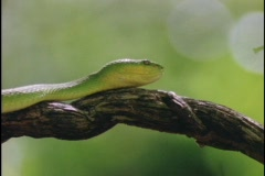 Green snake slithers over a twisted branch. Stock Footage