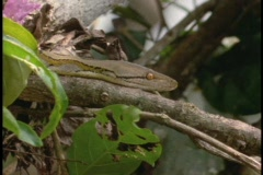 A python slithers across a tree branch. Stock Footage