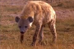 A hyena investigates an African plain. Stock Footage