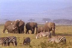 Elephants and zebras graze in Kenya, Africa. Stock Footage
