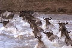 Wildebeests splash across a river in Kenya, Africa. Stock Footage